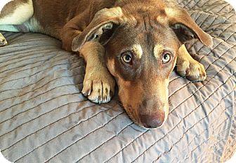 Labrador Retriever/German Shepherd Dog Mix Dog for adoption in New Braunfels, Texas - Tanner