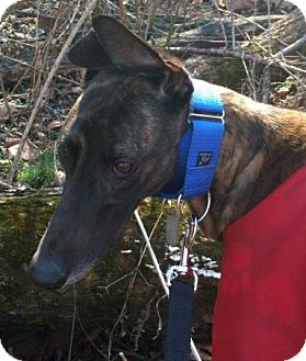 Greyhound Dog for adoption in Spencerville, Maryland - Nemo