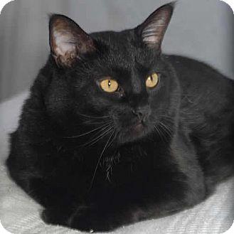 Domestic Shorthair Cat for adoption in Des Moines, Iowa - Aspen