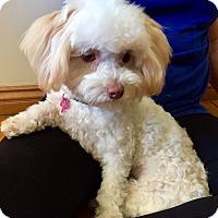 Adopt A Pet :: Annalise - Encino, CA