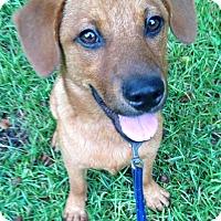 Golden Retriever Mix Puppy for adoption in Irmo, South Carolina - Miller