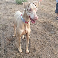 Adopt A Pet :: Leo - Reno, NV