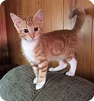 Domestic Shorthair Kitten for adoption in Chattanooga, Tennessee - Mango