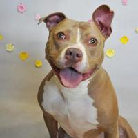 American Pit Bull Terrier Mix Dog for adoption in Wantagh, New York - Tila