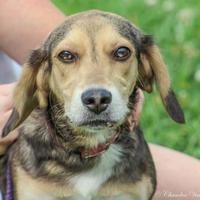 Adopt A Pet :: Caley - Clinton, MO