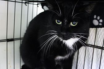 Domestic Shorthair/Domestic Shorthair Mix Cat for adoption in Muskegon, Michigan - meeko