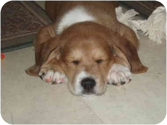Beagle Mix Puppy for adoption in Baltimore, Maryland - Lucille