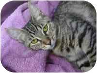 Domestic Shorthair Cat for adoption in Tampa, Florida - Tootsie