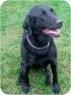 Labrador Retriever Dog for adoption in Irvine, California - Koffee
