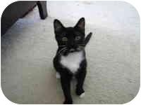 Domestic Shorthair Kitten for adoption in Tampa, Florida - Roger Rabbit