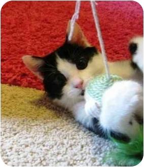 Domestic Shorthair Cat for adoption in Radford, Virginia - Oliver