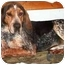 Photo 2 - Bluetick Coonhound Dog for adoption in Okotoks, Alberta - Duchess