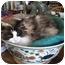 Photo 3 - Ragdoll Cat for adoption in Davis, California - Katherine