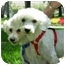 Photo 3 - Bichon Frise/Poodle (Toy or Tea Cup) Mix Dog for adoption in La Costa, California - Ricky and Lucy