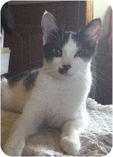 Domestic Shorthair Cat for adoption in Hamburg, New York - LuLu