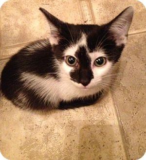 Domestic Shorthair Kitten for adoption in Newburgh, Indiana - Gorbie
