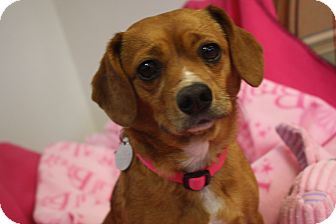 Pug/Beagle Mix Dog for adoption in Huntsville, Alabama - Abbie