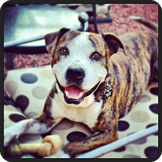 American Bulldog/American Staffordshire Terrier Mix Dog for adoption in Phoenix, Arizona - ADOPTED**Maynard, aka Pigpen