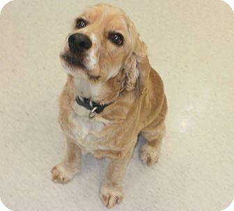 Cocker Spaniel Dog for adoption in Cannington, Ontario - Indy