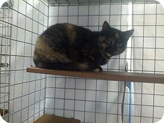 Domestic Mediumhair Cat for adoption in london, Ontario - Melaine