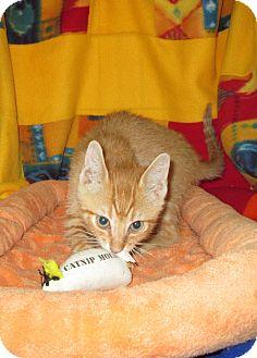 Domestic Shorthair Kitten for adoption in Pueblo West, Colorado - Waba