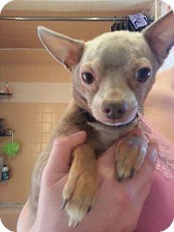Chihuahua Dog for adoption in Gig Harbor, Washington - Surah