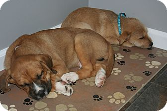 Boxer Mix Puppy for adoption in Morgantown, West Virginia - Toby