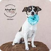 Adopt A Pet :: Amber - Shawnee Mission, KS