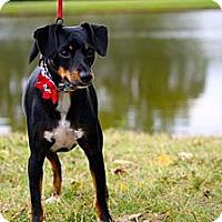 Adopt A Pet :: Dottie - Nashville, TN