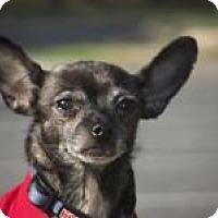 Adopt A Pet :: Tiny Jill - Baltimore, MD