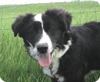 Border Collie/Husky Mix Dog for adoption in Lloydminster, Alberta - Tipps