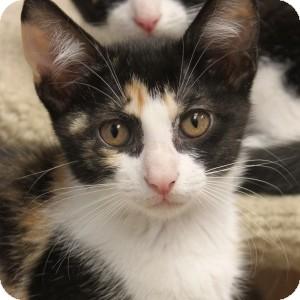 Domestic Shorthair Kitten for adoption in Naperville, Illinois - Cali