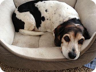 Beagle Mix Dog for adoption in Cedar Rapids, Iowa - Maude