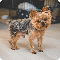 Adopt A Pet :: Ollie - Fairfax, VA