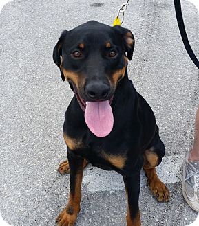 Rottweiler/Doberman Pinscher Mix Dog for adoption in New Smyrna Beach, Florida - Butch