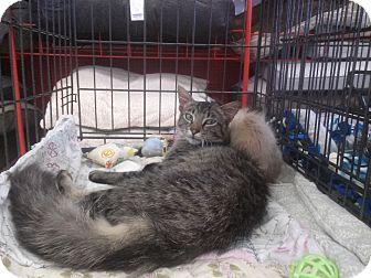 Domestic Mediumhair Cat for adoption in Alamo, California - Ellen