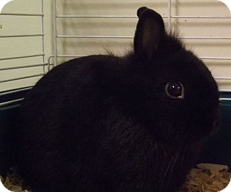 Other/Unknown Mix for adoption in Cheboygan, Michigan - Black Bunny
