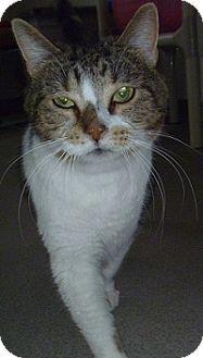 Domestic Shorthair Cat for adoption in Hamburg, New York - Patty
