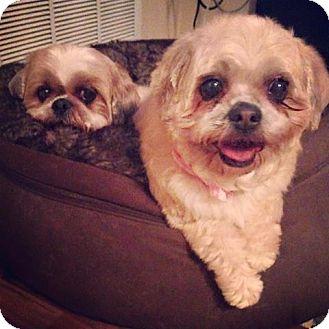 Shih Tzu Mix Dog for adoption in Cambridge, Ontario - Cordelia & Sukie