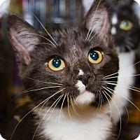 Adopt A Pet :: Tyrion - Irvine, CA