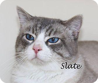 Siamese Cat for adoption in Idaho Falls, Idaho - Slate