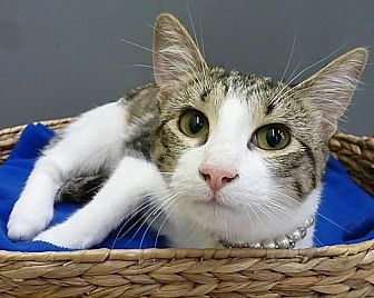 Domestic Shorthair Cat for adoption in League City, Texas - Tiger Lily