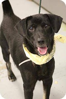 Labrador Retriever/Hound (Unknown Type) Mix Dog for adoption in Paterson, New Jersey - Ben