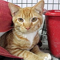Abyssinian Cat for adoption in Jefferson, Texas - Rowdy