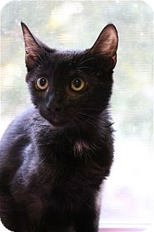 Domestic Shorthair Cat for adoption in Lincoln, California - Shadow Hofer