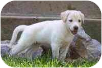 Labrador Retriever/Retriever (Unknown Type) Mix Puppy for adoption in Rockville, Maryland - Firefly