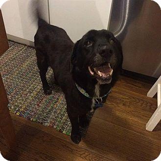 Labrador Retriever Dog for adoption in Austin, Texas - Rio