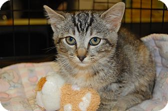 Domestic Shorthair Kitten for adoption in Whittier, California - Shalalee