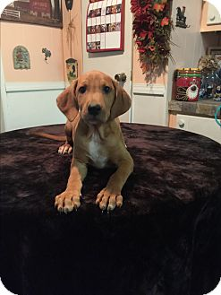 Coonhound/Catahoula Leopard Dog Mix Puppy for adoption in Kittery, Maine - Zane