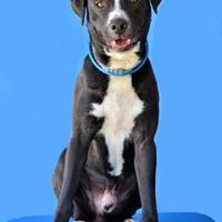 Adopt A Pet :: Scuttle - Cabot, AR